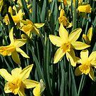 Yellow Daffodils by Kimberly Johnson