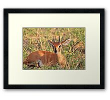 Steenbok Ram - Still Instinct Framed Print