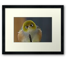 Don't even think about it! Silvereye - Wax Eye - New Zealand Framed Print