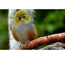 Are you QUESTIONING ME! - Silvereye - Wax Eye - New Zealand Photographic Print