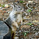 Squirrel by Debbie Sickler