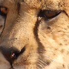 Namibian Cheetah by PPDesigns