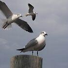 Seagulls by Wanda  Mascari