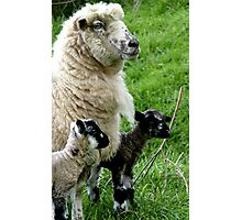 Proud Mum with Twins! - Sheep - NZ Southland Photographic Print