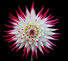 Sorbet Dahlia by Jack Crockett