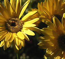 Daisies by G. Patrick Colvin