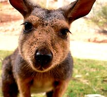 Curious Wallaby by BecsPerspective