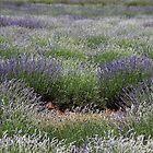 Nabowla lavender - n.e. Tasmania by gaylene