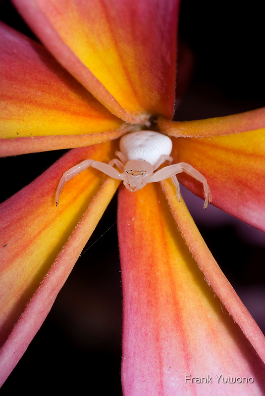 Crab Spider on Frangipani 2 by Frank Yuwono