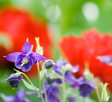 Aquilegia and poppies by jephoto