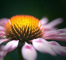 Echinacea by jephoto