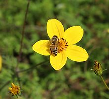 Honey Bee on Yellow Flower by rhamm