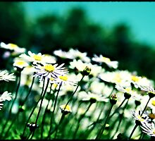 Daisy, daisy, reaching for the sky by Melanie  Dooley