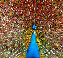 male Peacock with spread feathers  by PhotoStock-Isra
