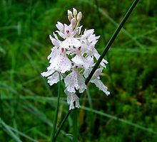 Scottish Orchid (Dactylorhiza maculata) by GerryMac