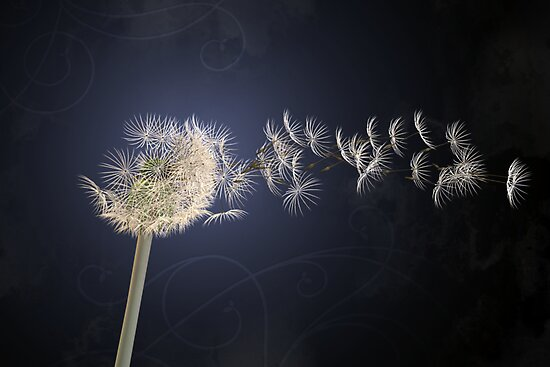 Dandelion by Jackie Liao