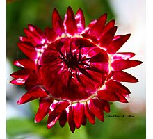 Floating Strawflower Photographic Print