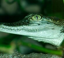 Saltwater Crocodile by Aussiebluey