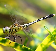 Dragon Fly doing Acrobatic Action by Ismail Basymeleh
