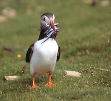 Puffin 4 by Fiona MacNab