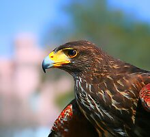 Hawk Eye by AngelPhotozzz