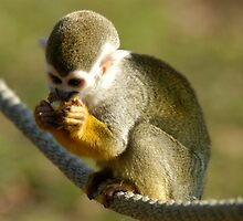 Squirrel Monkey by aaxford