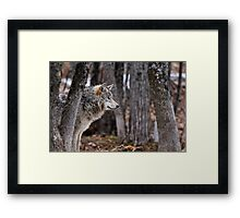 Timber Wolf in trees Framed Print