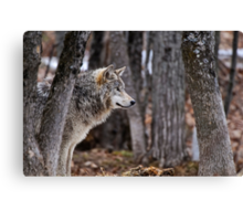 Timber Wolf in trees Canvas Print