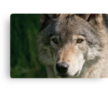 Timberwolf - Acrylic painting treatment in PS3 Canvas Print