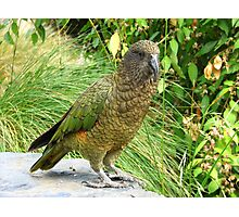Where did she go! - Kea - New Zealand Photographic Print