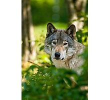 Timberwolf  Photographic Print