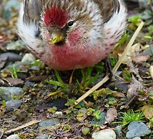 Realy Tasty - Redpoll - Southland - New Zealand by AndreaEL