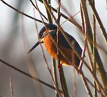 Kingfisher by jdmphotography