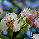Natures Crystals - Plum Blossoms - NZ - Southland by AndreaEL