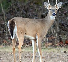 Whitetail Spike Deer by CKEphotos