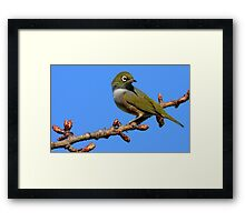 Never Look Back!!! - Silvereye - NZ - Southland Framed Print