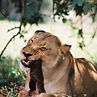 Single Lioness feeding by Robert Deaton