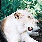 White Lioness by Robert Deaton