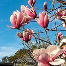 Magnolias by Catherine Davis