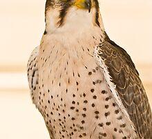 Perched Falcon by Jason Anderson
