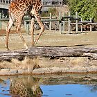 Giraffe by Jennifer Lycke