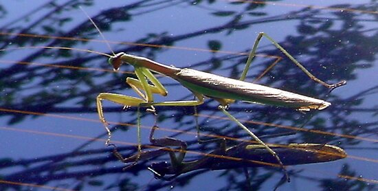 Korean Praying Mantis by Debbie Montgomery