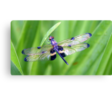 Dragonfly with Bumble Bee markings - Laguna Whitsundays Canvas Print