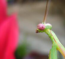 """mantid mania """"pink eyes"""" by Belinda Cottee"""