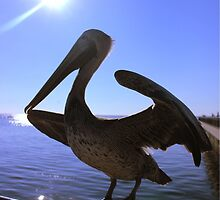 Pelican and sunshine by Christina  Sutton