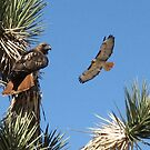 Redtail Hawks by Bill Serniuk