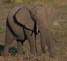 Elephant by Jo  McCarthy