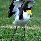 Lapwing... (Spur Winged Plover) by snowwombat