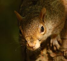 Grey Squirrel by Alistair Balharrie