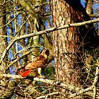 Red Tail Hawk by madman4